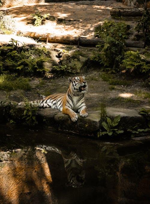 Free stock photo of livestocks, tiger, zoo