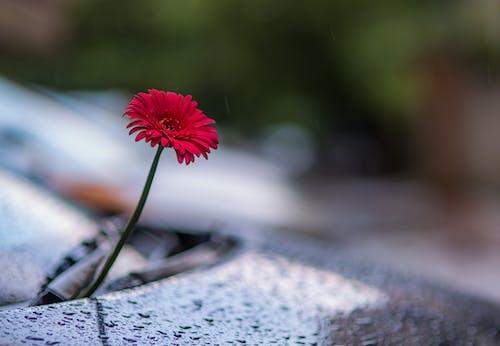 A Flower on the Car Hood