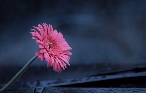 Pink Flower on Black Surface