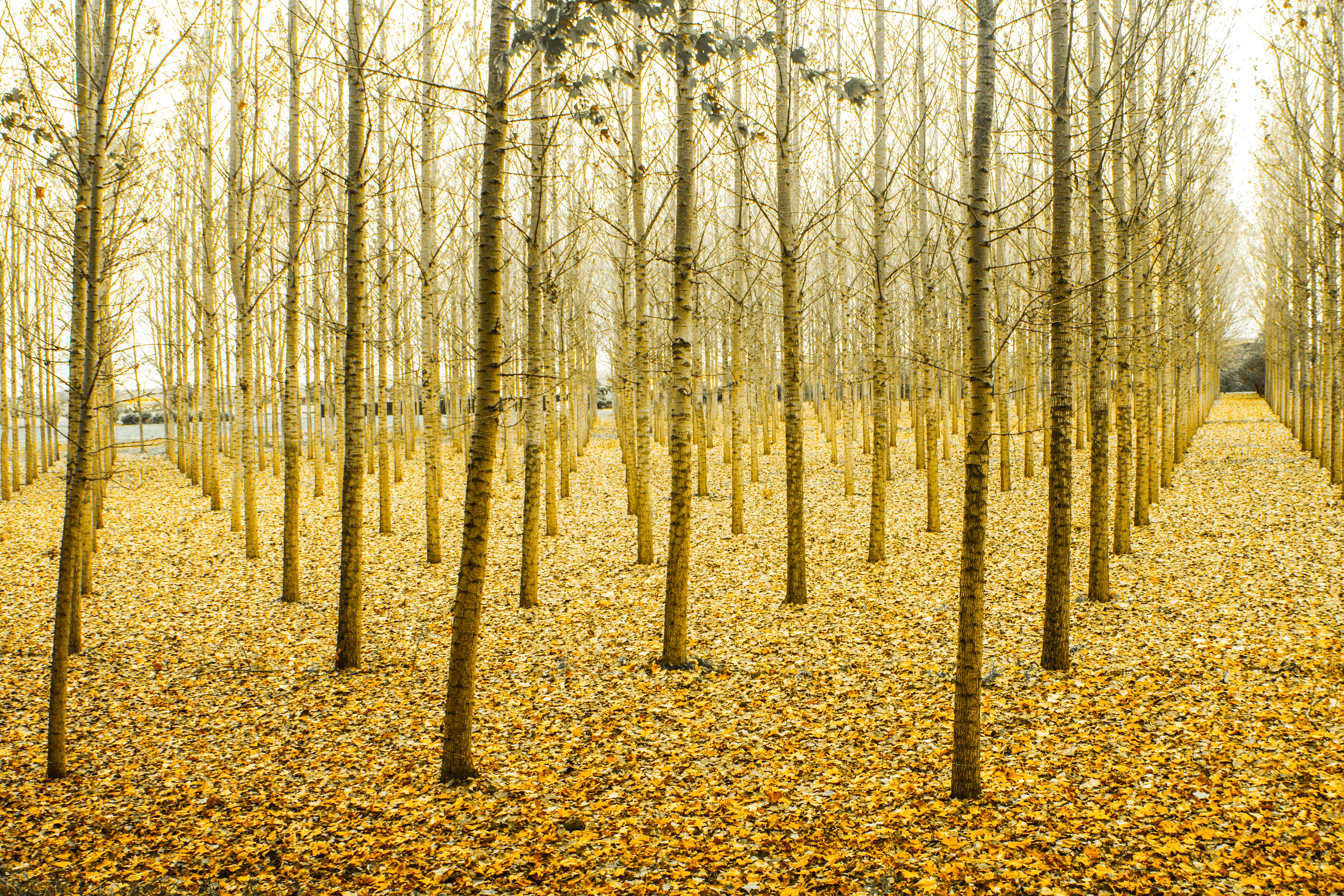 Photo of Yellow Tree Stems