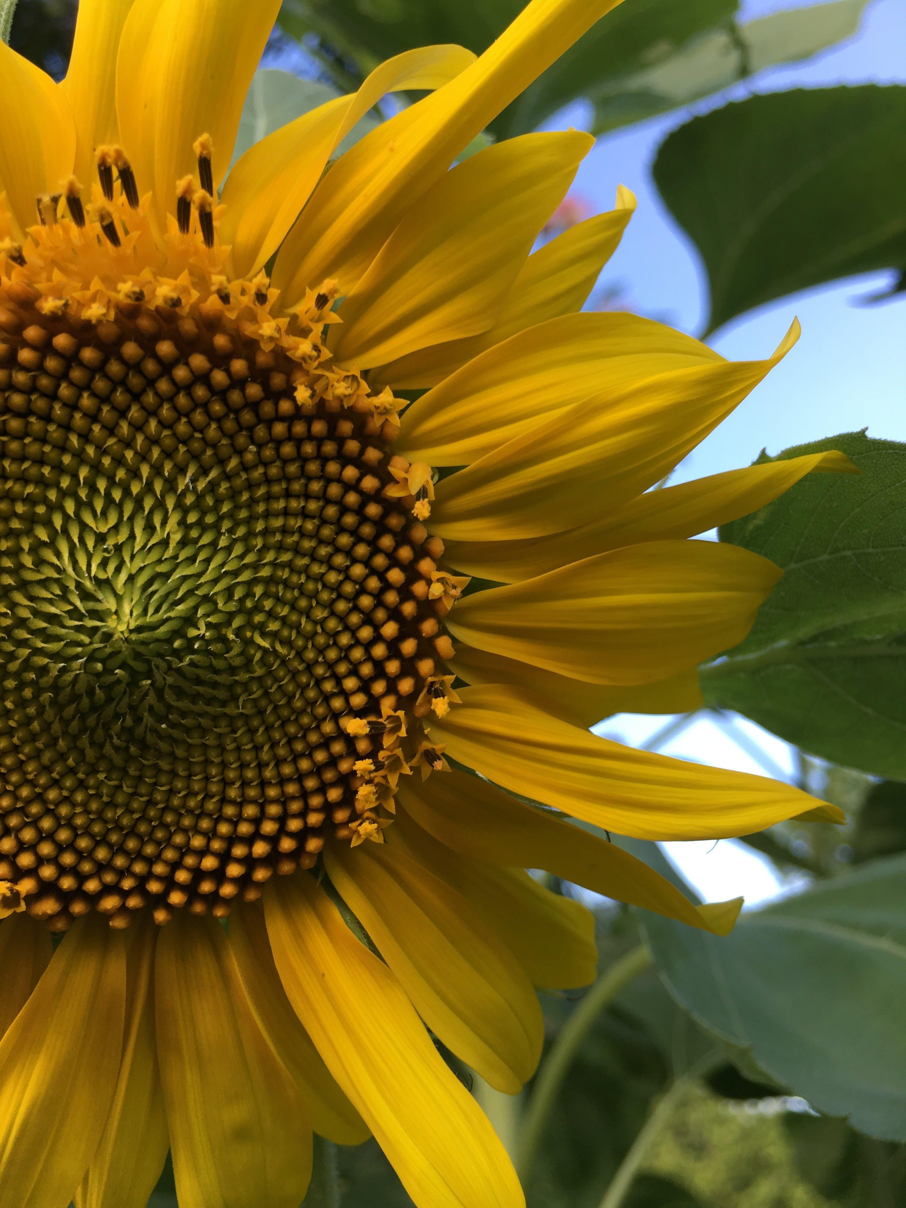 Free stock photo of summer, blue sky, sunflower, green leaves