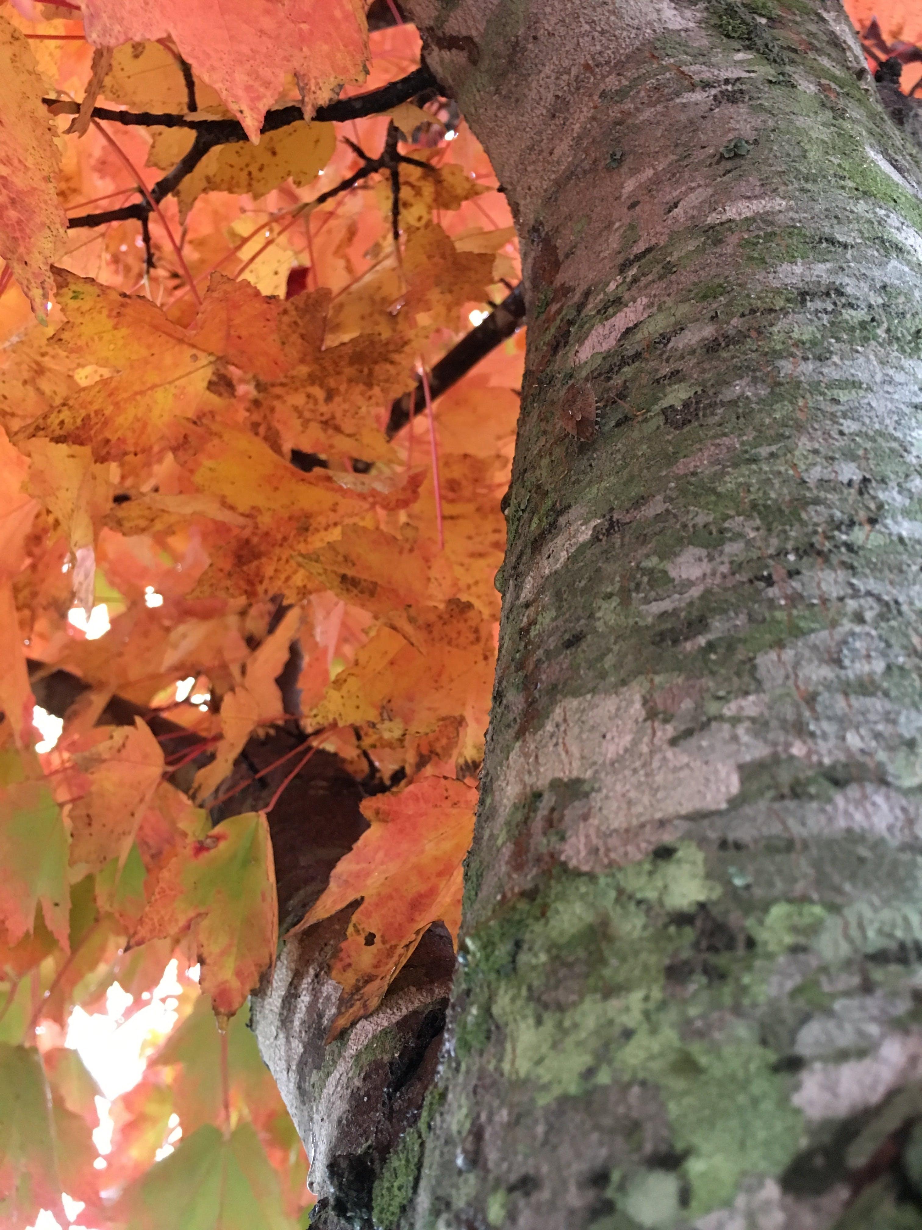 Free stock photo of bark, lichen, orange leaves, tree