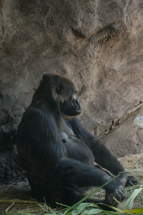 Black Gorilla Sitting beside Rock