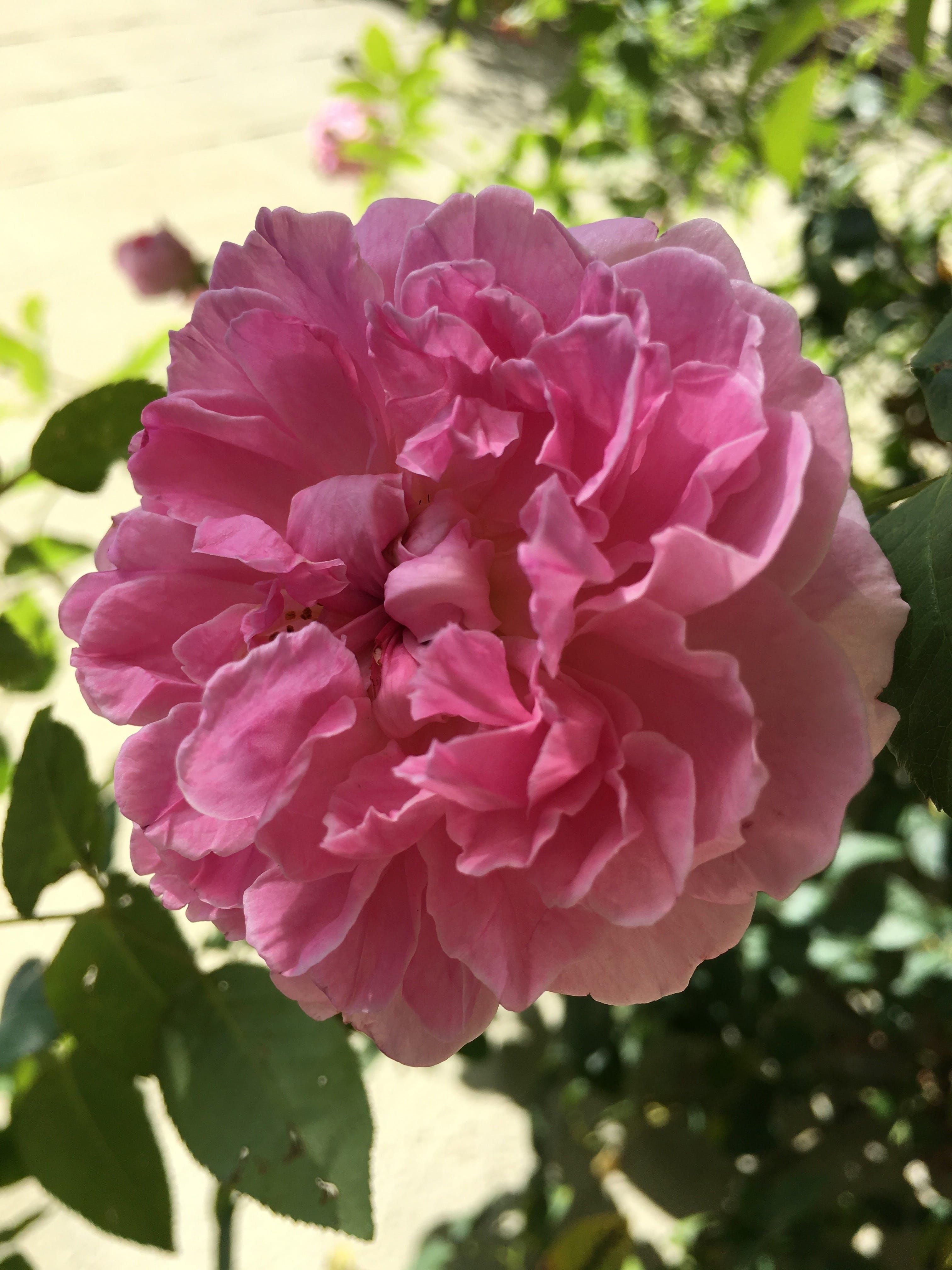 Free stock photo of spring, flower, Pink Rose, green foliage