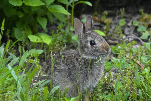 Free stock photo of bunny, cottontail, mammal