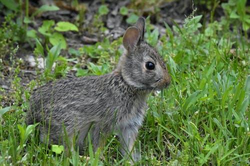 Free stock photo of animal, bunny, cottontail
