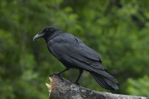 Black Crow on Gray Rock