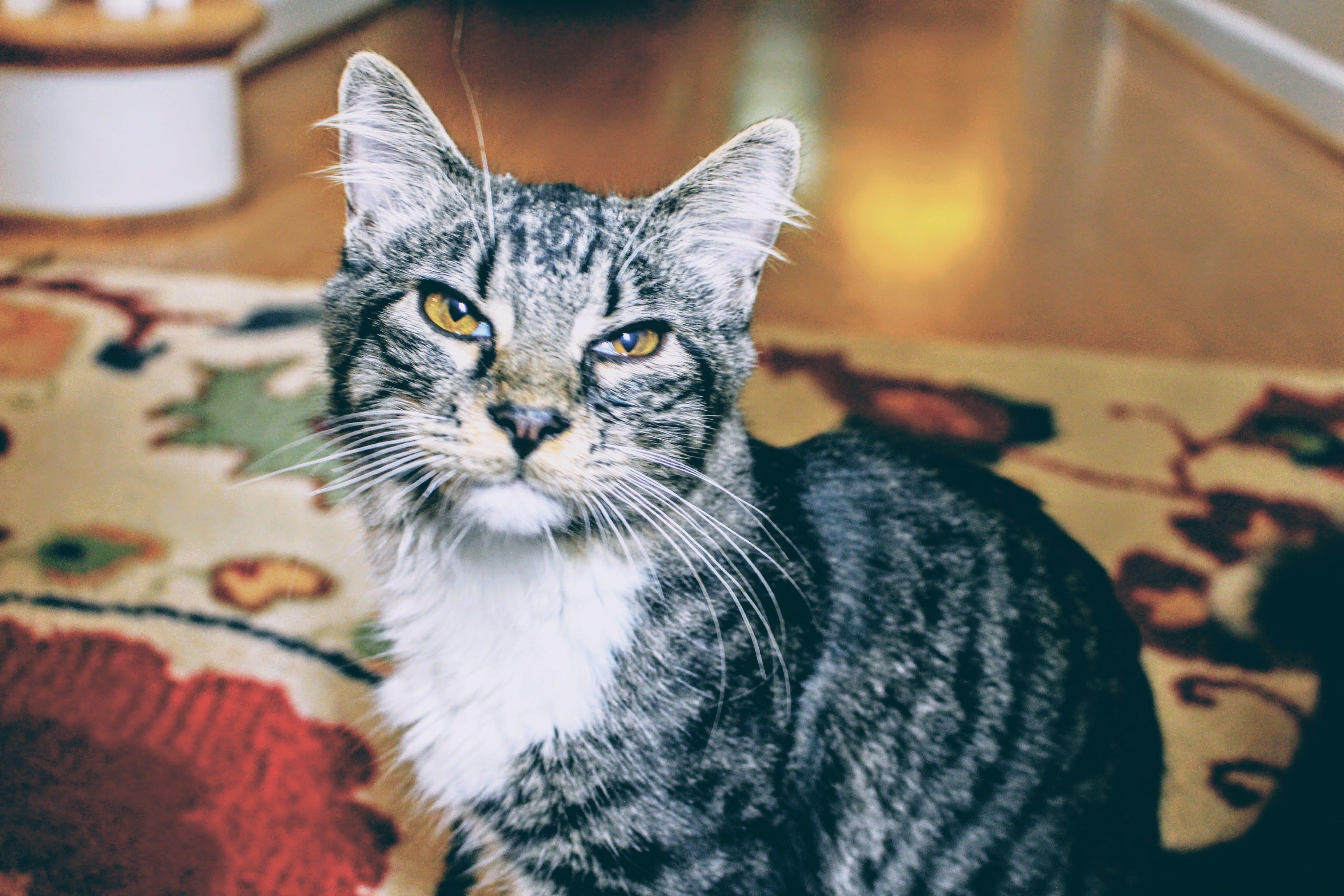 bakmak, çizgiler, ev kedisi, evcil içeren Ücretsiz stok fotoğraf