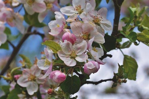 Free stock photo of apple blossom, apple tree, blooming tree