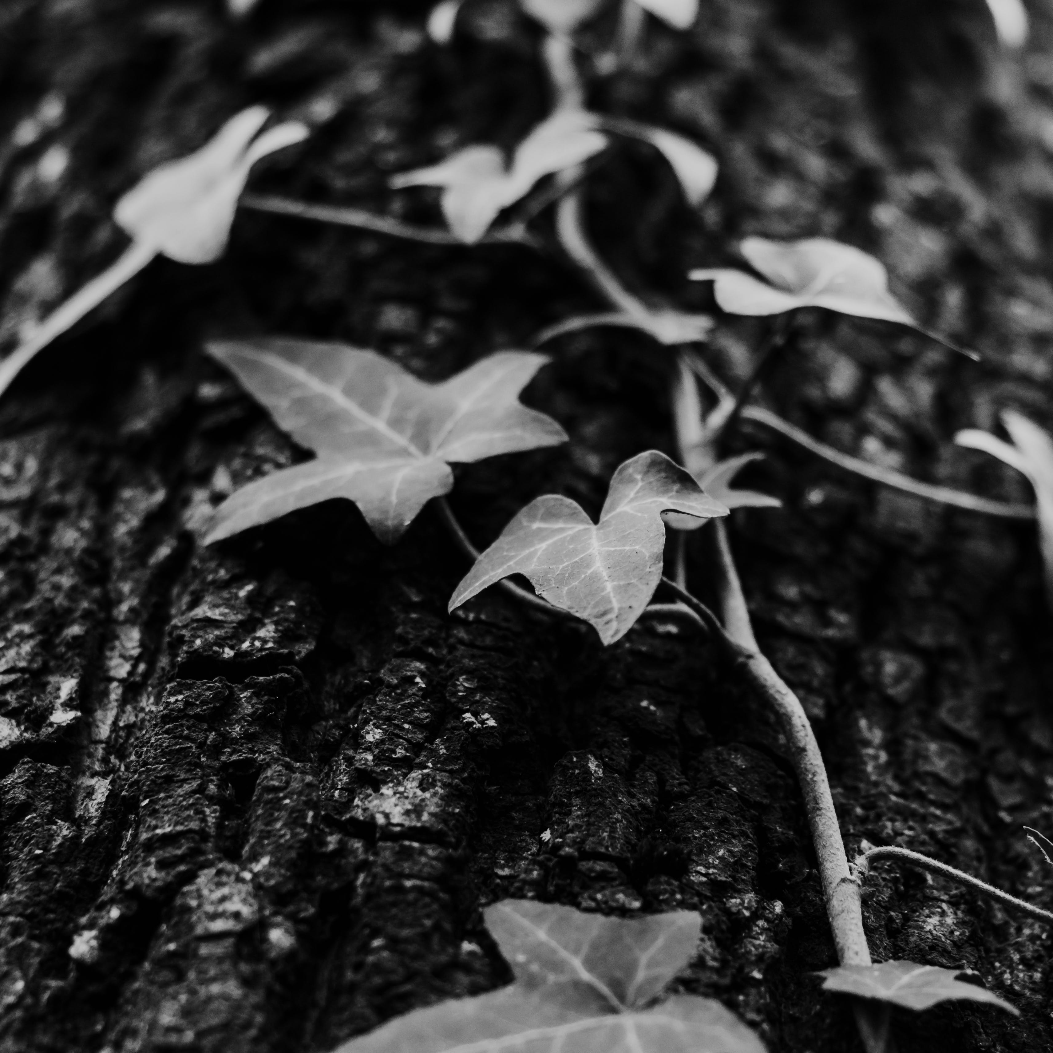 Grayscale Photo of Devil's Ivy Plant