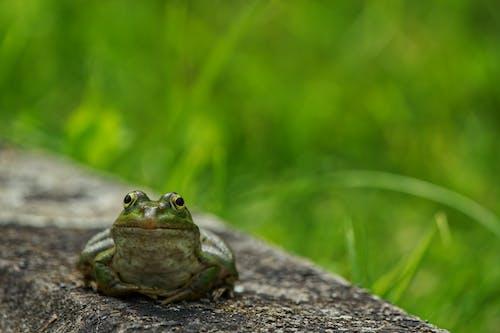 Photos gratuites de amphibien, animal, biologie
