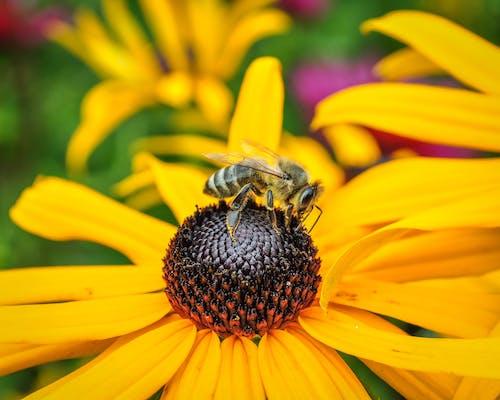 Ảnh lưu trữ miễn phí về con ong, con thú nhỏ, hoa, hoa màu vàng