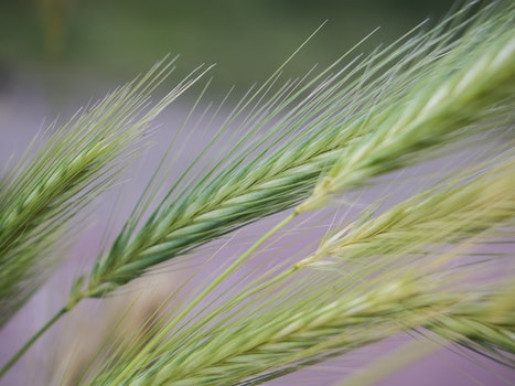 Free stock photo of nature, grass, harvest, grain