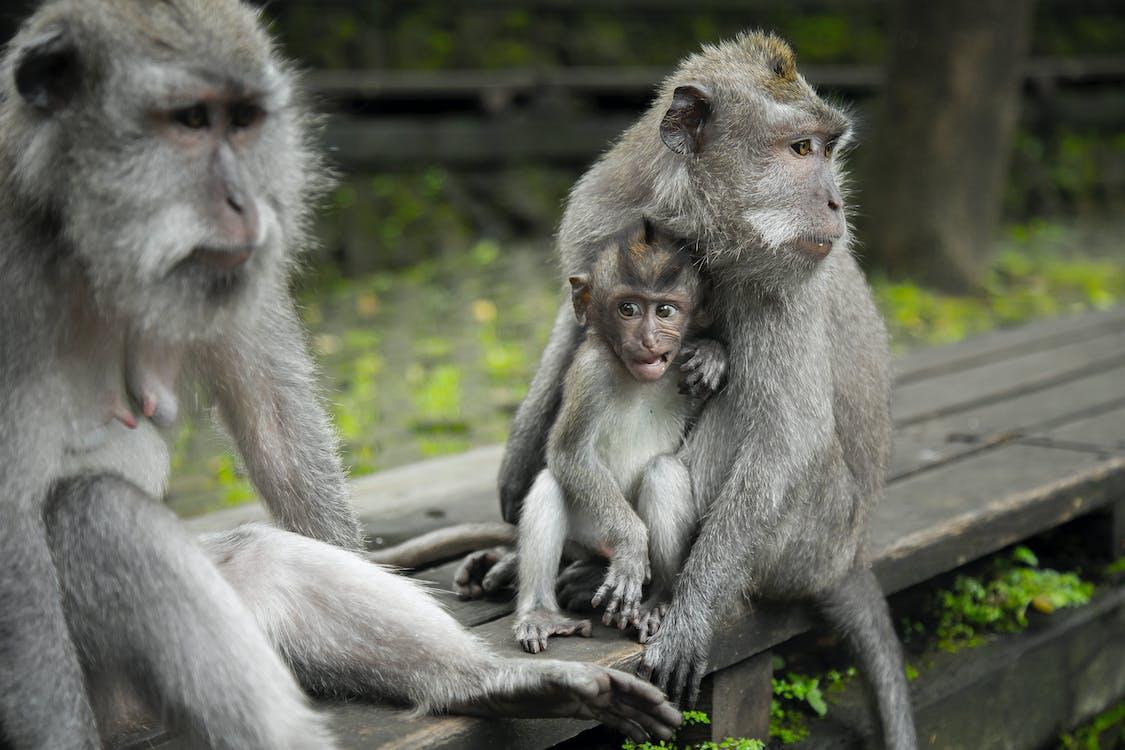 Monkeys on the island of Bali