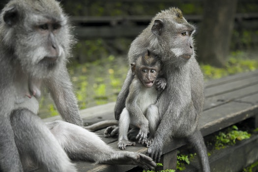 Grey Monkeys On Top Of Brown Table