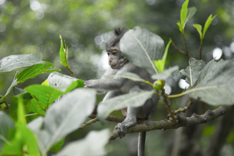 Grey Monkey On Tree Branch