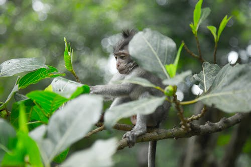 Grey Monkey On Tree Branch