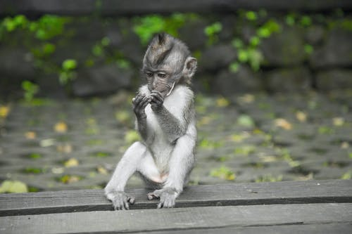 Primate Sitting On Wooden Surface