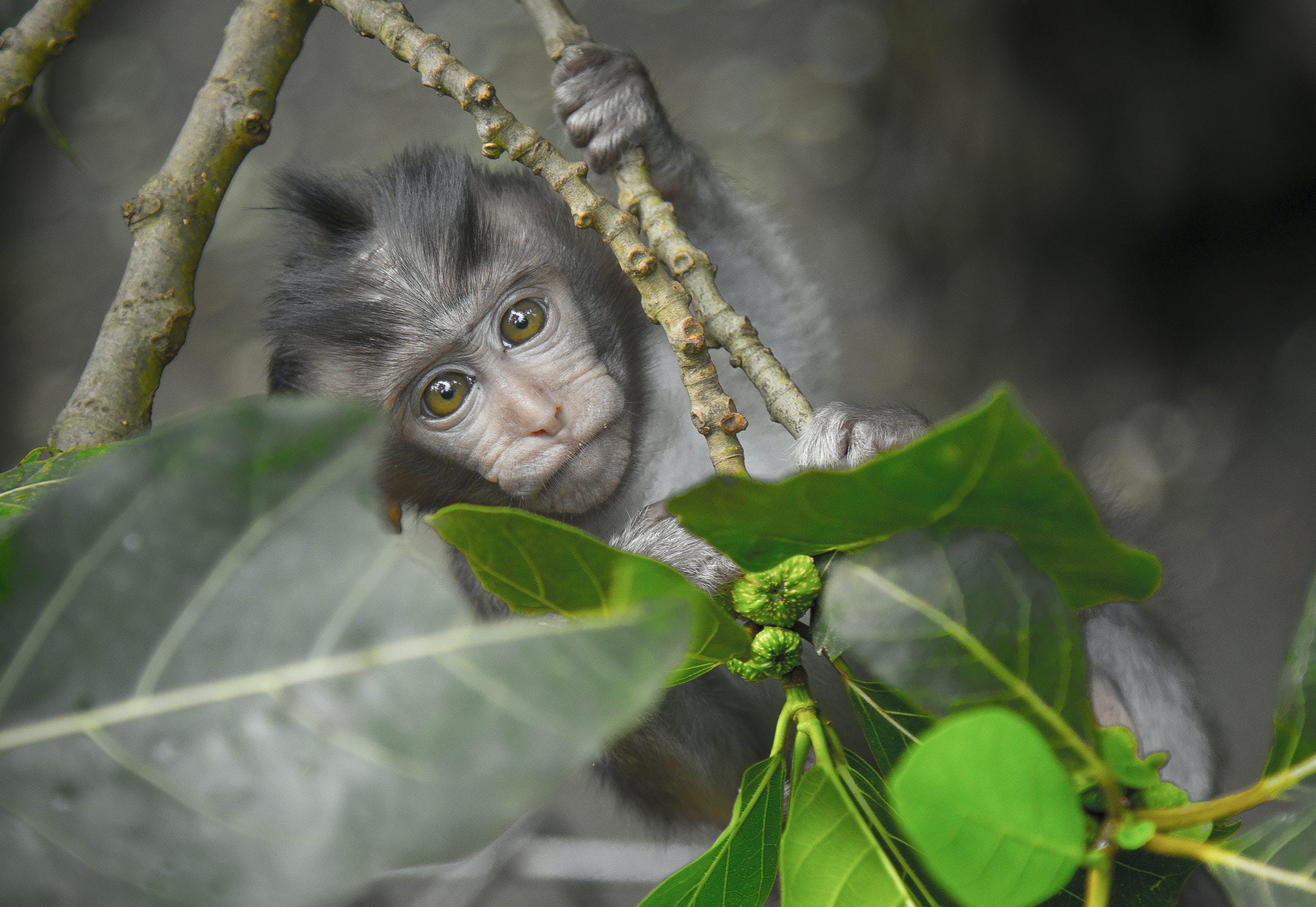 Gray Monkey Holding on Gray Tree Branch