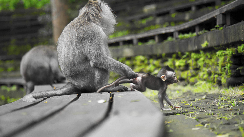 Gray Monkeys