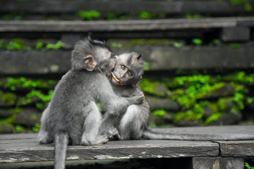 Two Gray Monkey on Black Chair