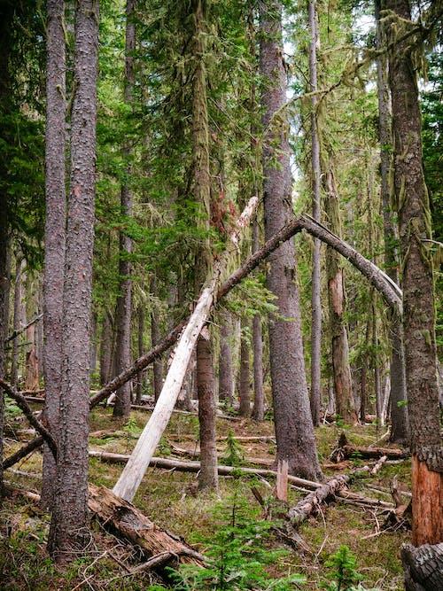 Free stock photo of alpine forest, fallen tree, fallen trees
