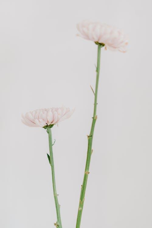 カモミール, シンプル, フローラの無料の写真素材