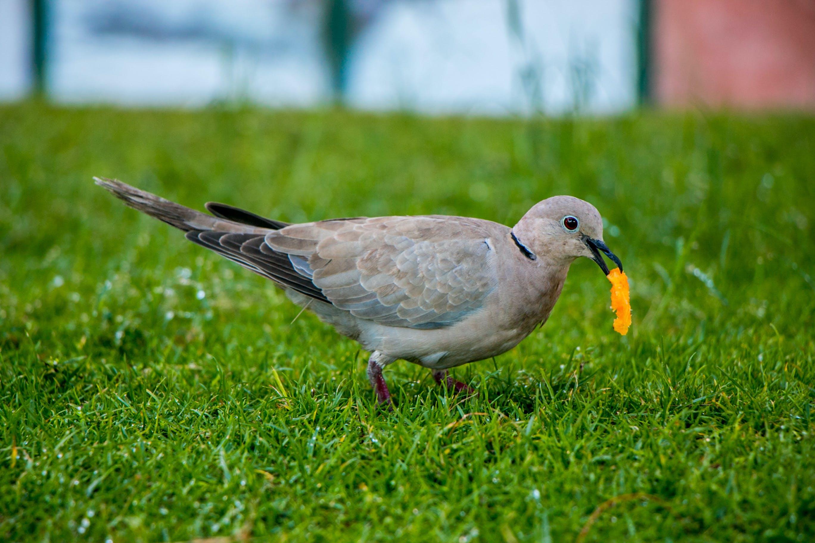 Free stock photo of bird, dewdrop, dove, grass