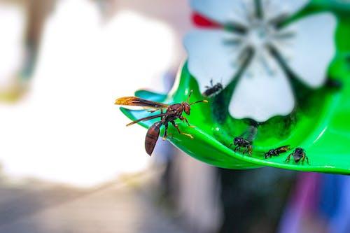 Foto d'estoc gratuïta de abella, animal, apocrita