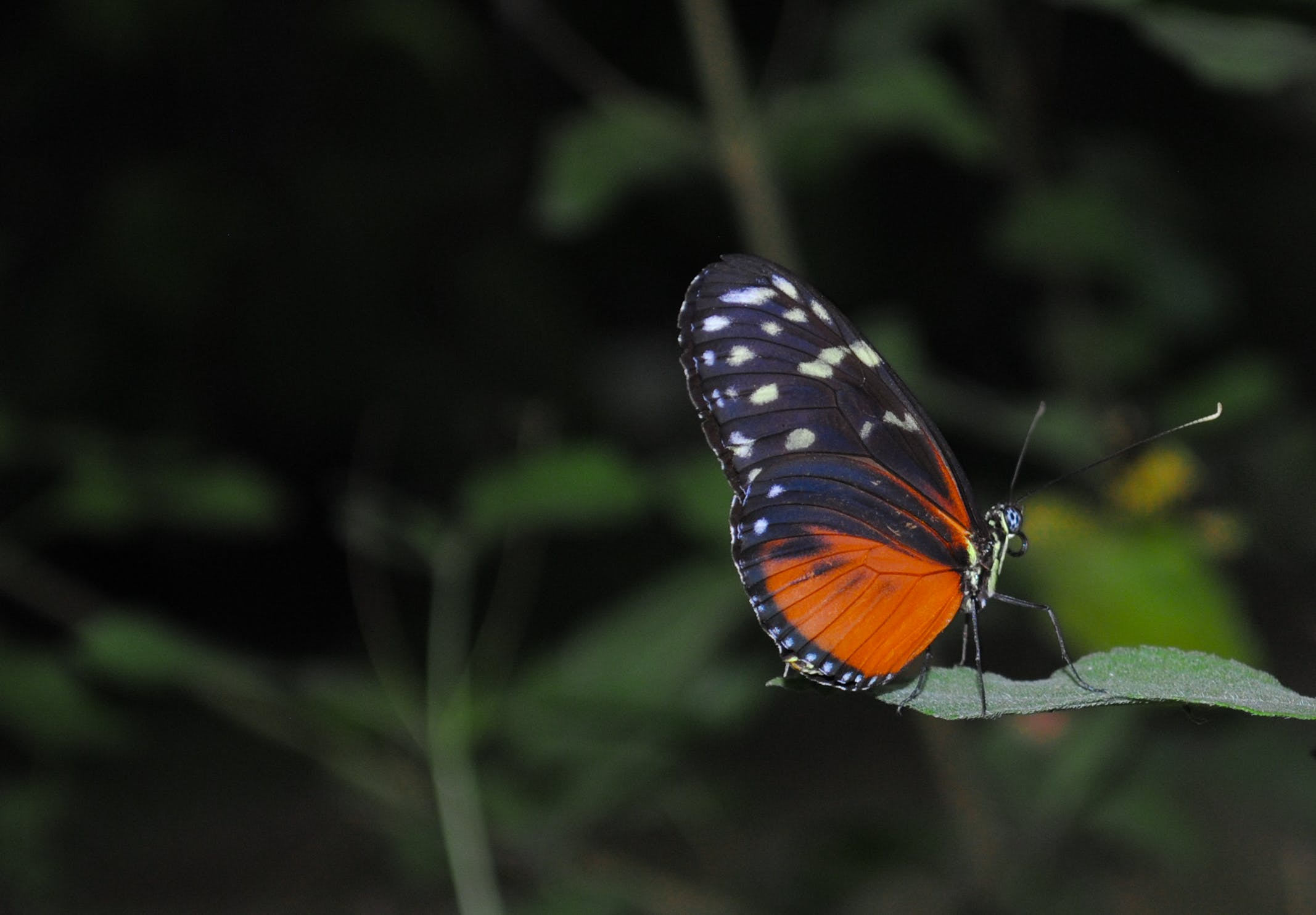 Black and Orange Butterfly Photo