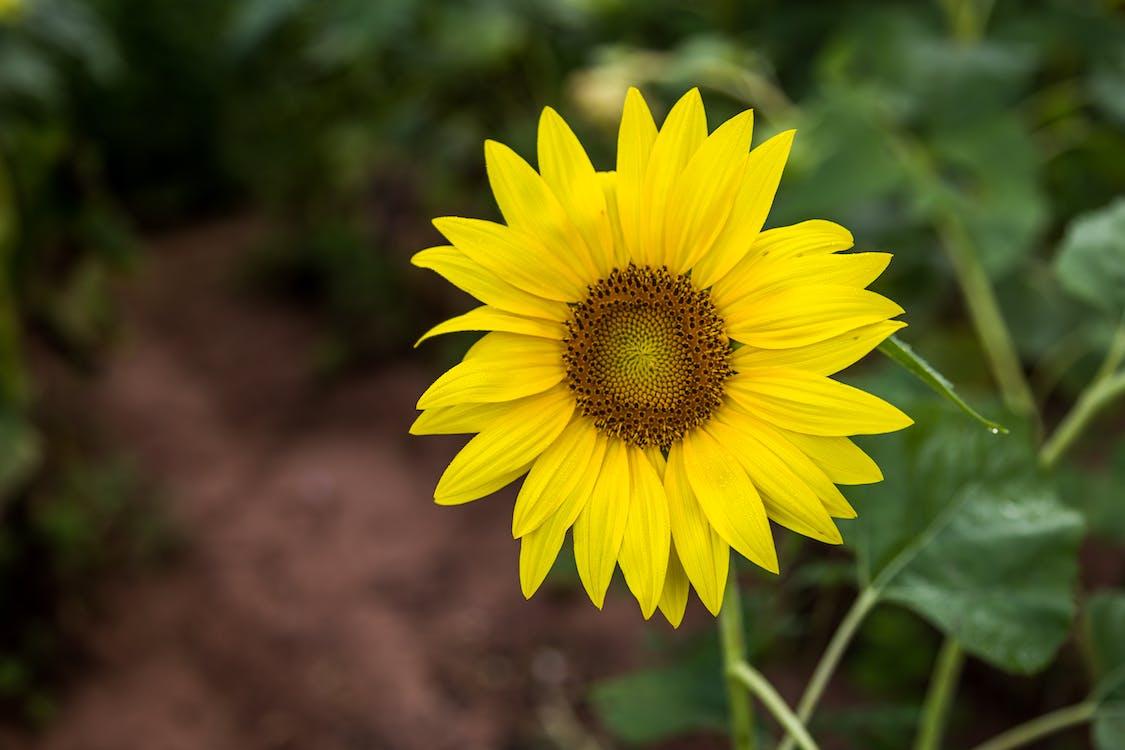 auringonkukka, kasvi, kasvikunta