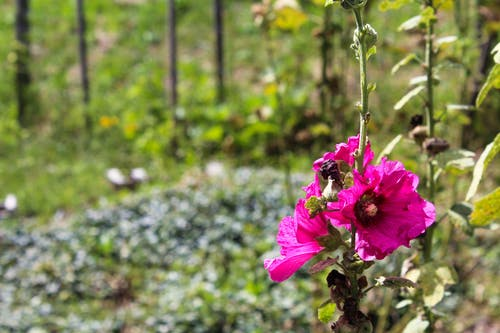 çiçek, Çiftlik, lavanta içeren Ücretsiz stok fotoğraf