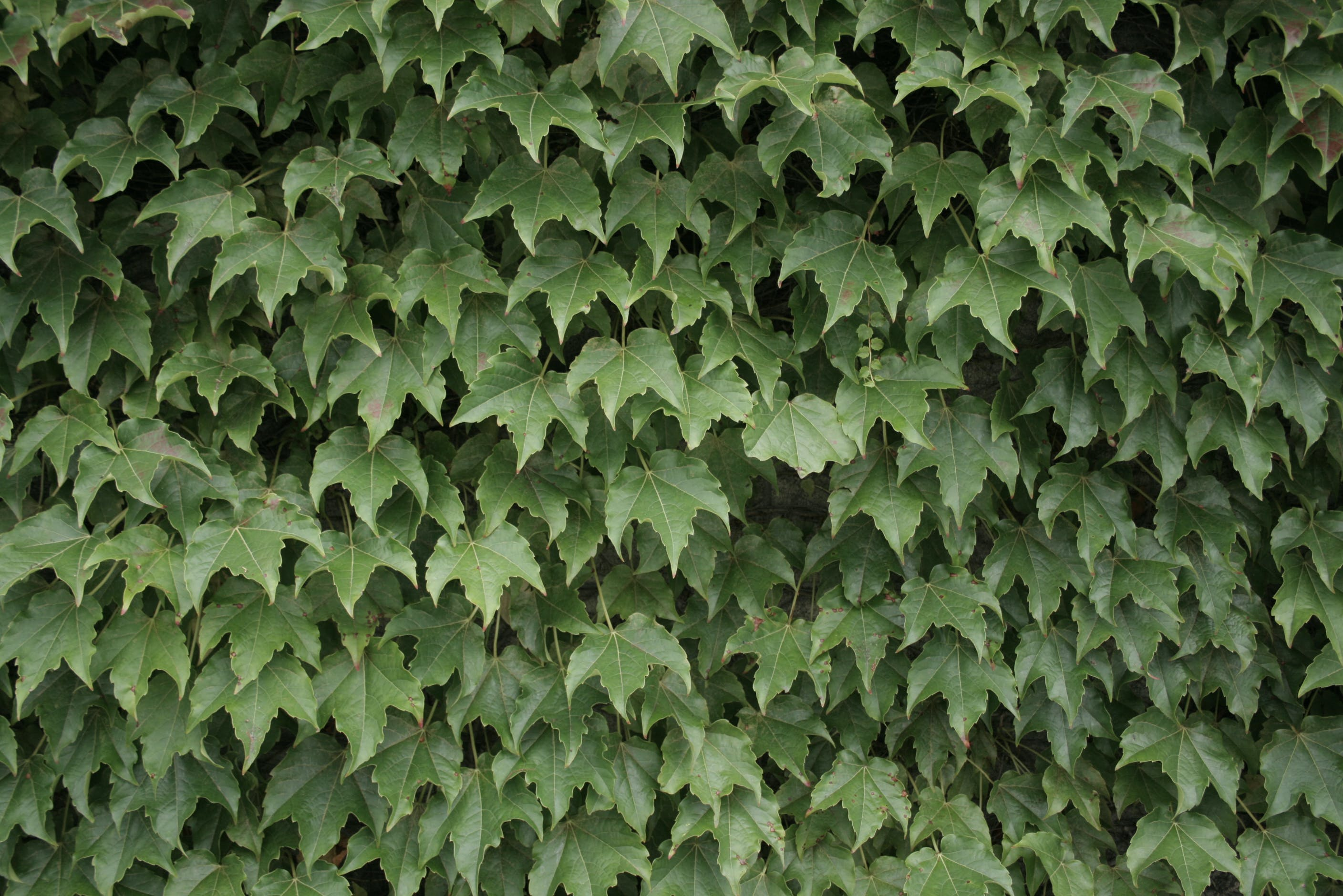 Free stock photo of green, ivy, landscape, nature