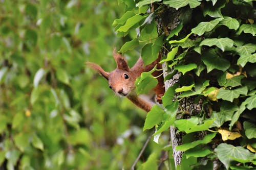 Brown Squirrel on Green Tree