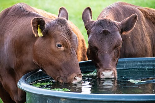 Free stock photo of cows drinking water