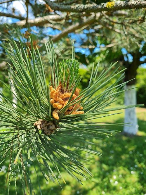 Free stock photo of fir, pine, spikes