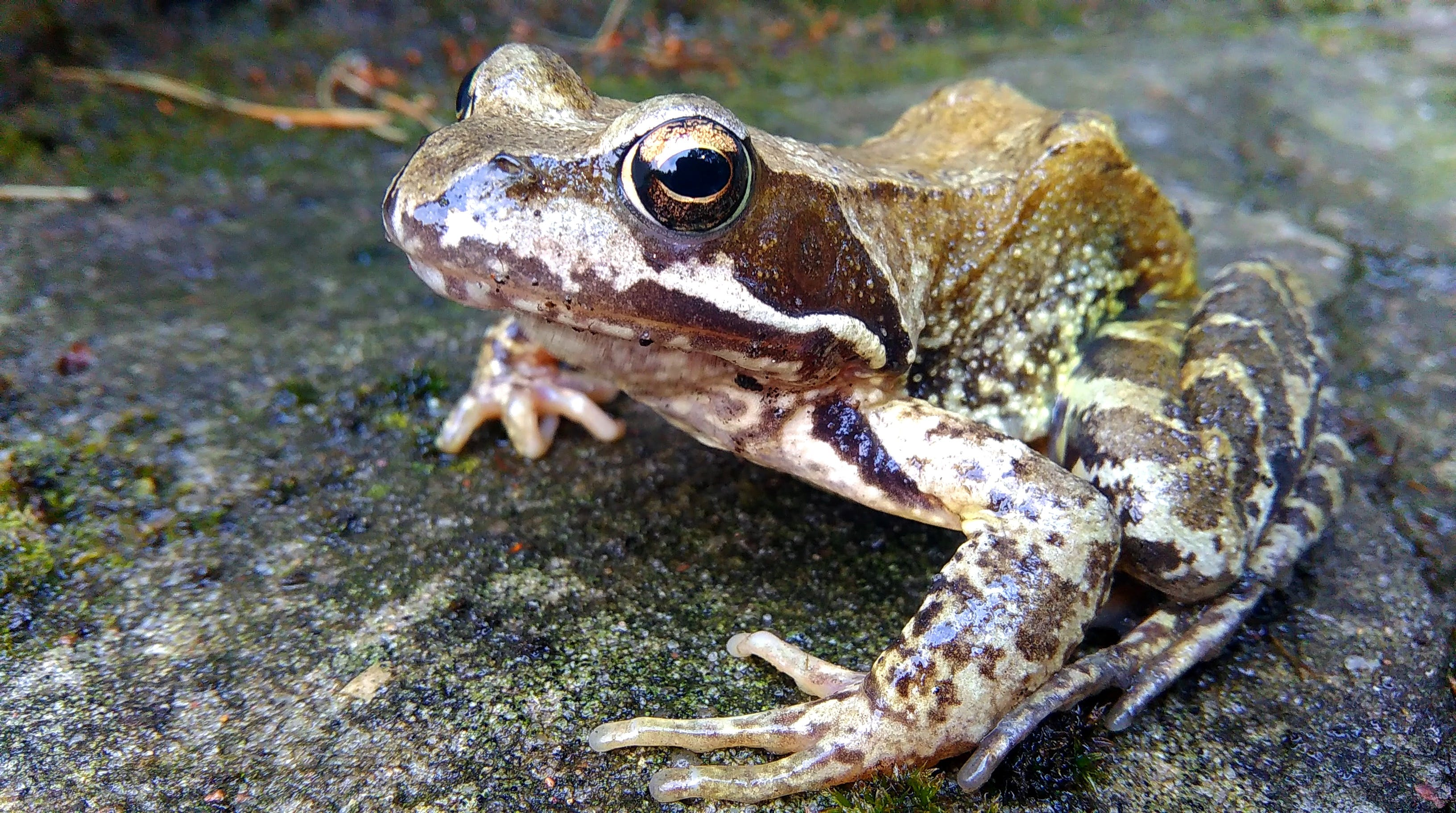 Brown and White Frog in Concrete Pavement