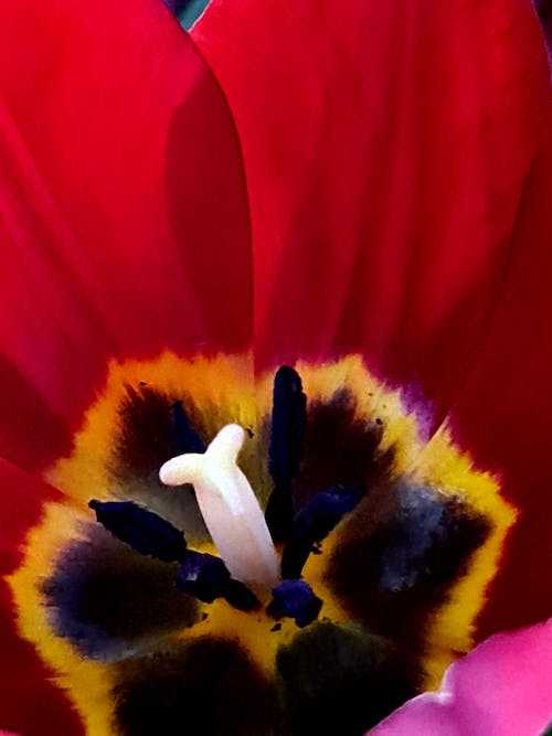 Free stock photo of flowers, red tulips, tulips
