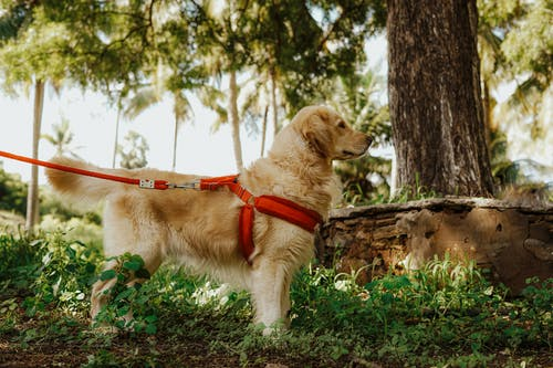 Golden Retriever Puppy With Red Leash