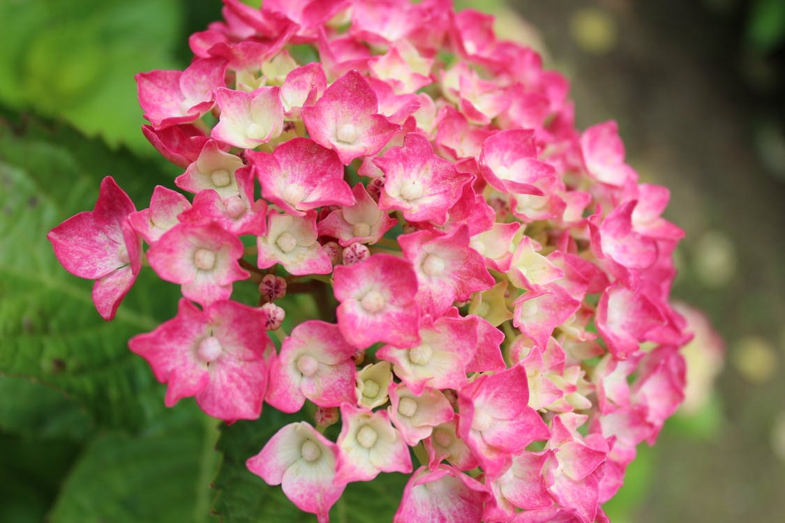Close Up Photo of Pink Flowers