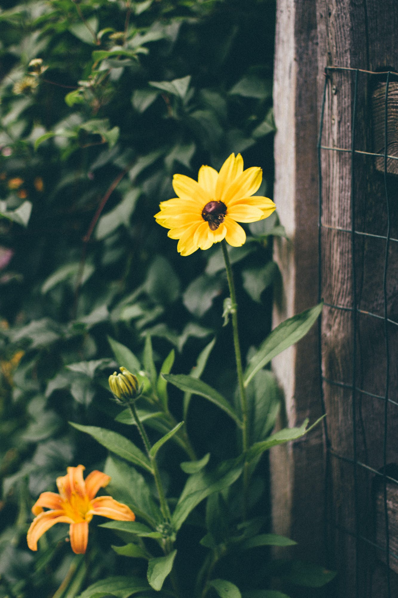 Yellow and Black Flower Infront of Brown Wood Frame Fence