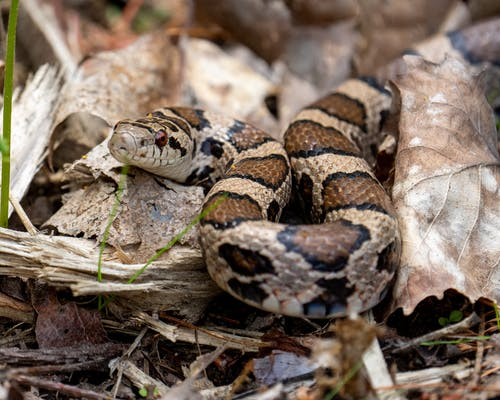 Brown and White Snake on Brown Dried Leaves
