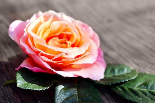 Gratis stockfoto met behang met rozen, roos, roos achtergrond