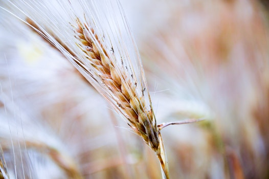 Free stock photo of field, cereal, wheat, closeup