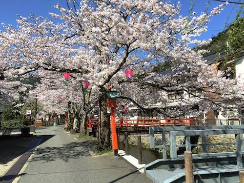Gratis lagerfoto af japan, japansk kirsebærtræ, justifyyourlove, Kærlighed