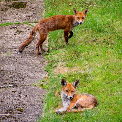 Free stock photo of fox, red fox, urban fox