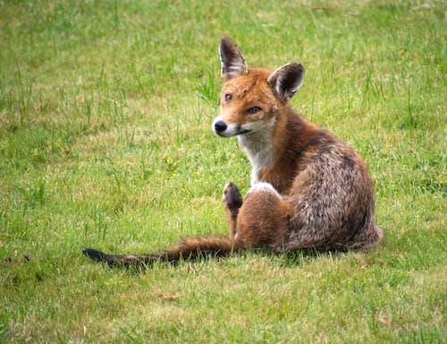 Бесплатное стоковое фото с городской лис, лисица, рыжая лиса