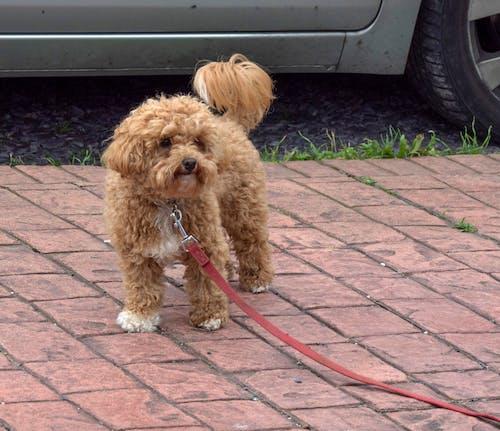 Gratis stockfoto met cavapoo, hond