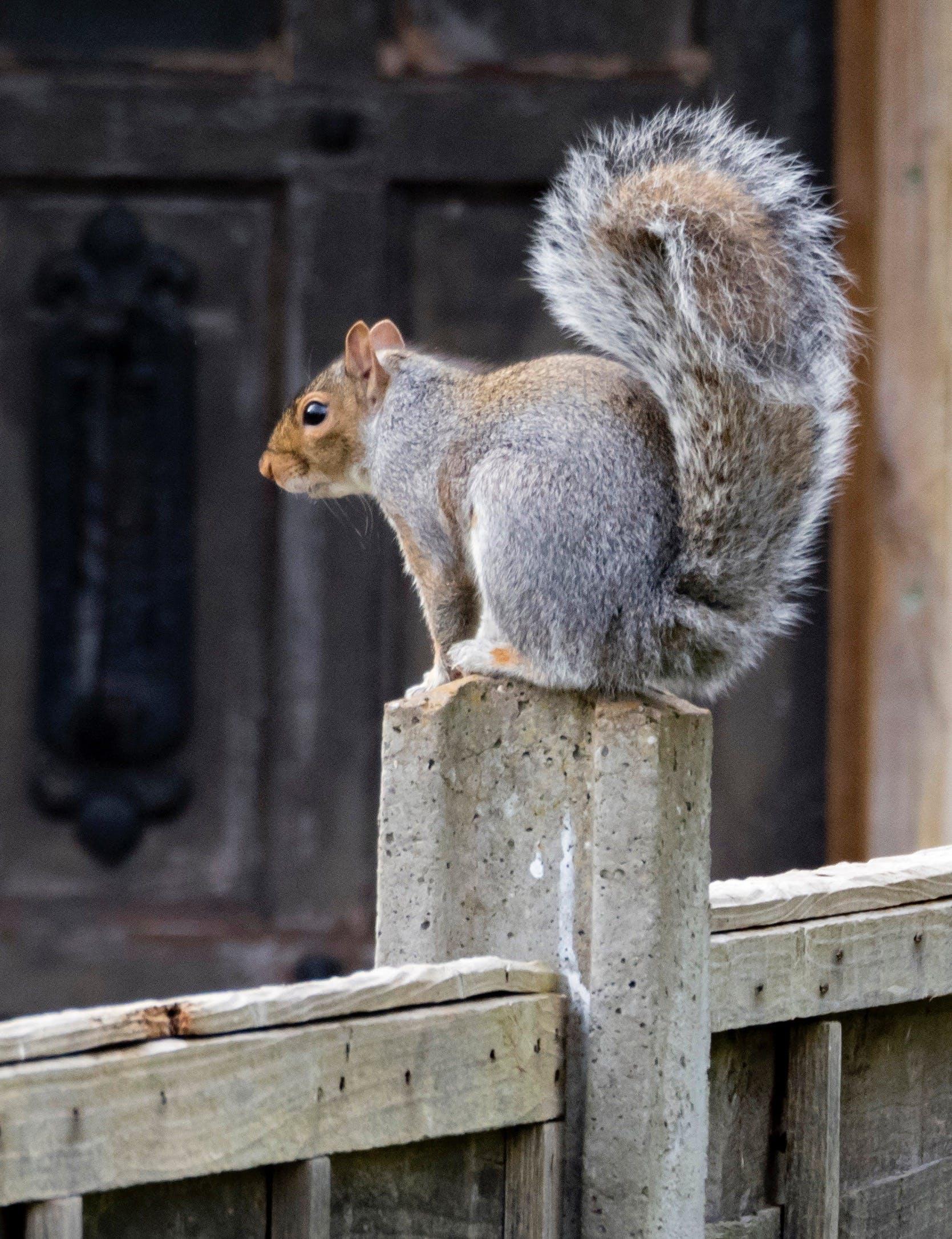 Free stock photo of gray squirrel, grey squirrel, squirrel
