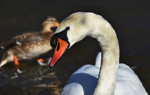 Free stock photo of bird s beak, swan, waterfowl